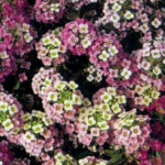 alyssum - summer garden color