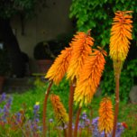 Kniphofia sp. (Red hot poker)