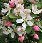 Malus sp. (Crabapple)