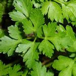 parsley150