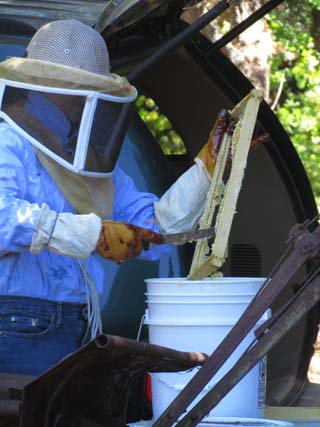 Scrape the honey and wax into a bucket
