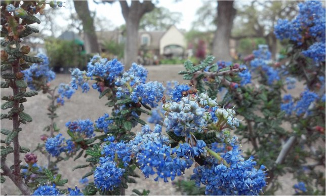 California Wild Lilac (Ceanothus sp.) - spring blooms in shades of blue attract pollinators and provide homes for butterfly larvae