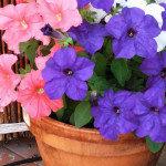 Petunia flowering in a clay pot