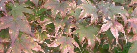 leafscorchbar2[1]