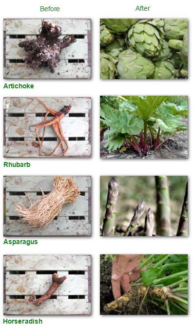 bare-root-veg-table