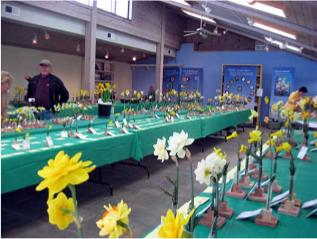 Daffodils on display at the daffodil show