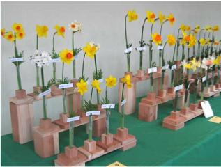 daffodil show display