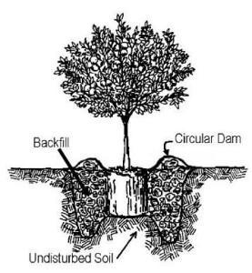 citrus-planting-diagram
