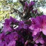 azaleas-under-oak