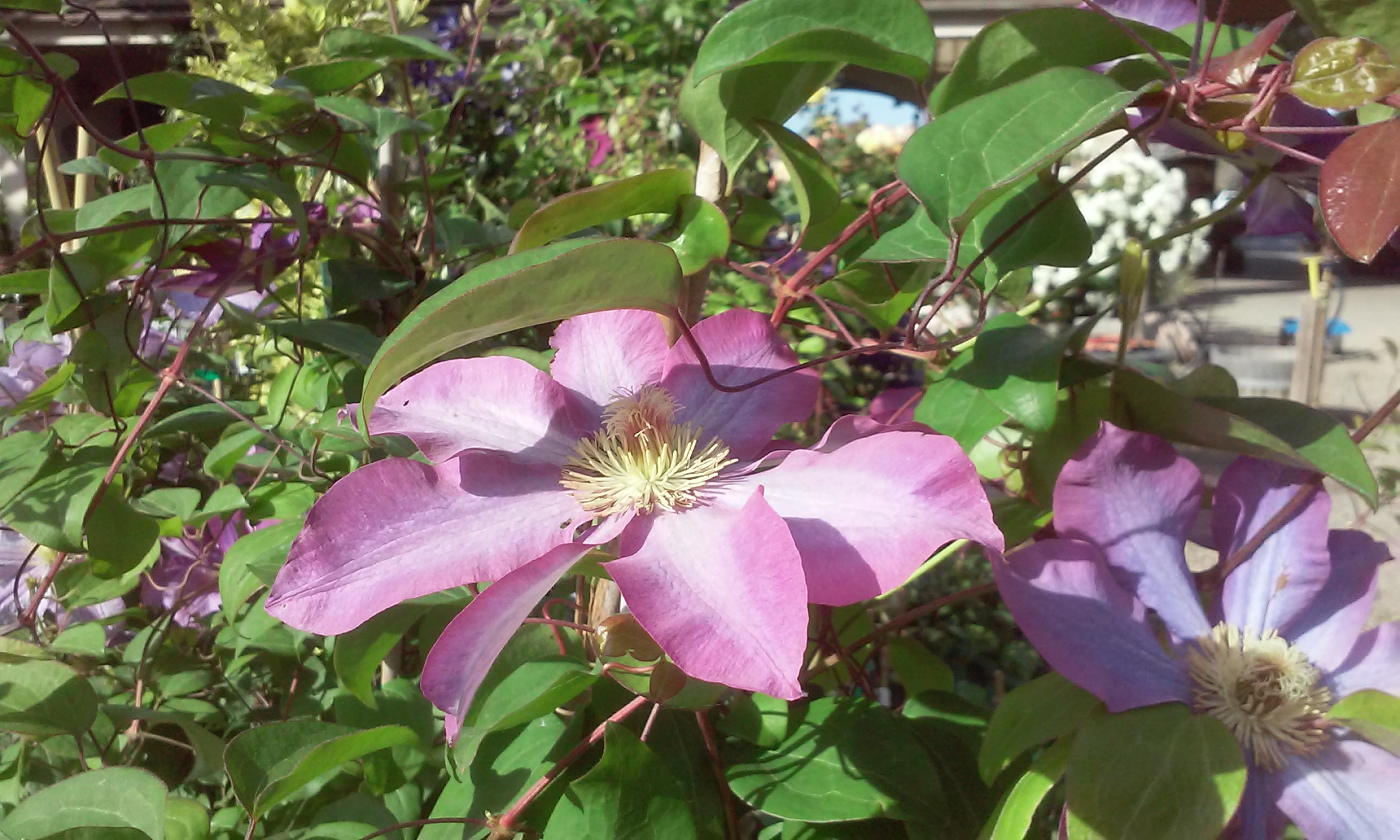 Clematis Vines Add A Spectacular Touch Alden Lane Nursery