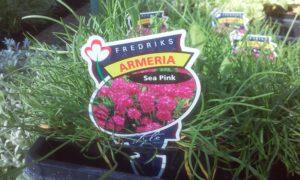 armeria-fredricks