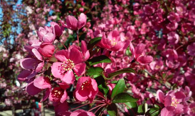 Small Flowering Trees Crabapples Delight Alden Lane Nursery