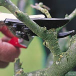 pruning shears cutting twig