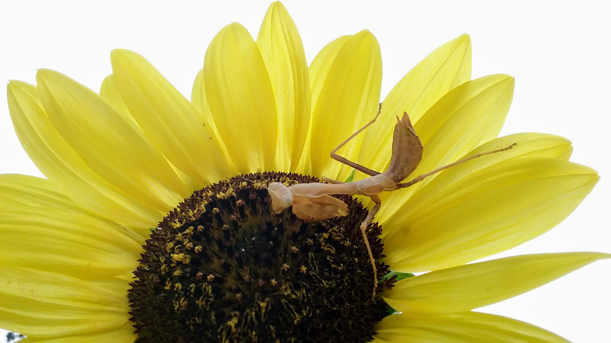 praying mantis egg case hatching time