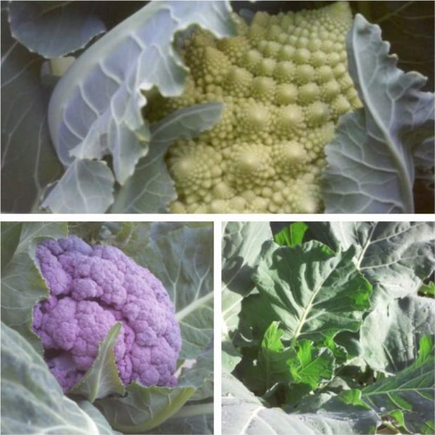 Plant Seeds Or Starts For Winter Vegetables Now