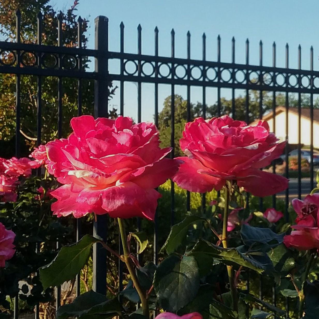 Rose Care Archives - Alden Lane Nursery
